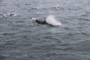 Observation baleine islande